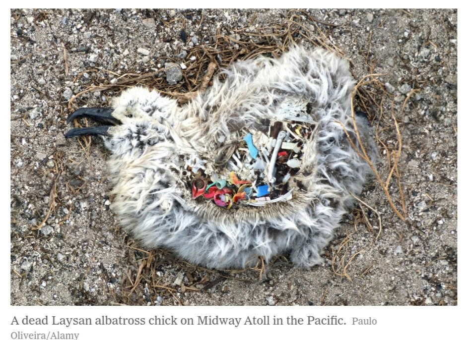 A dead Laysan albatross chick on Midway Atoll in the Pacific.