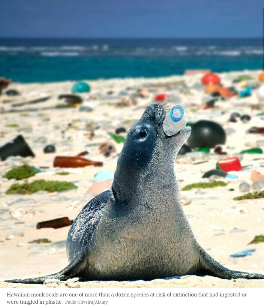 Hawaiian monk seals are one of more than a dozen species at risk of extinction that had ingested or were tangled in plastic.